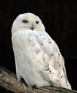 http://en.wikipedia.org/wiki/Snowy_Owl