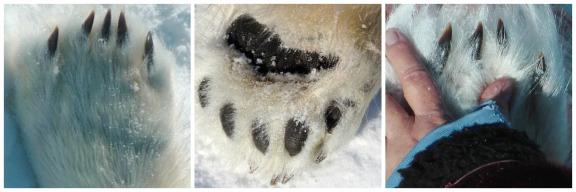 polarbearpawshand